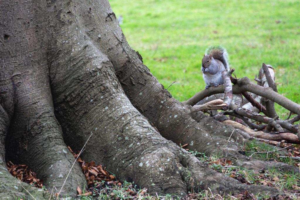 Squirrel - Uphill donkey field, Somerset, UK. ID IMG_4422