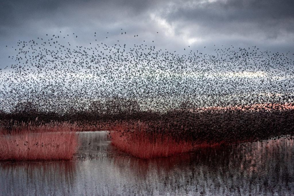 Starling Dawn - Ham Wall, Somerset, UK. ID JB1_0960