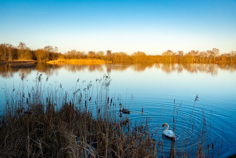 Swans from Decoy Hide - Shapwick Heath, Somerset, UK. ID JB1_1533