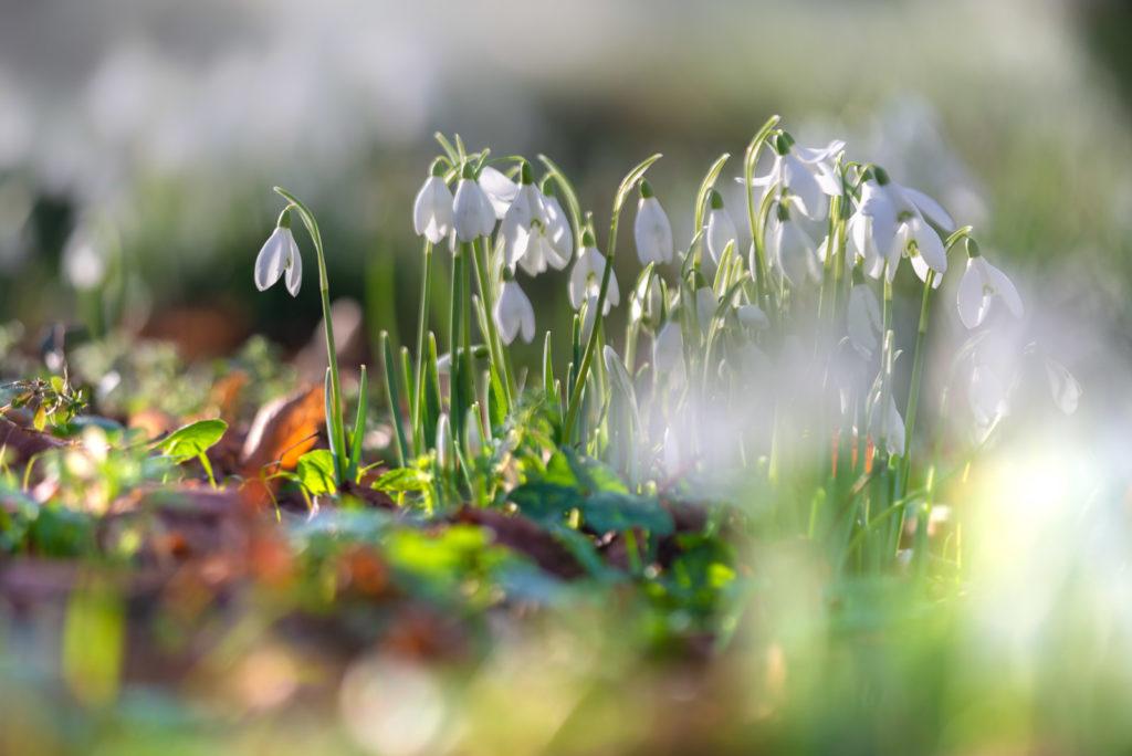 Snowdrops - Forde Abbey, Somerset, UK. ID JB1_2047