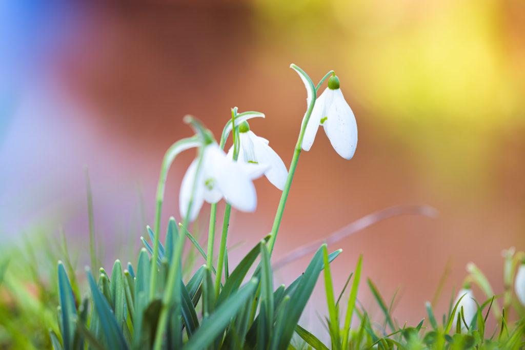 Snowdrops - Forde Abbey, Somerset, UK. ID JB1_2092