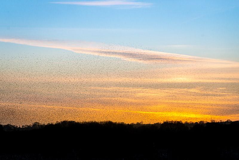 Starling Murmuration - Shapwick Heath, Somerset, UK. ID JB1_2226
