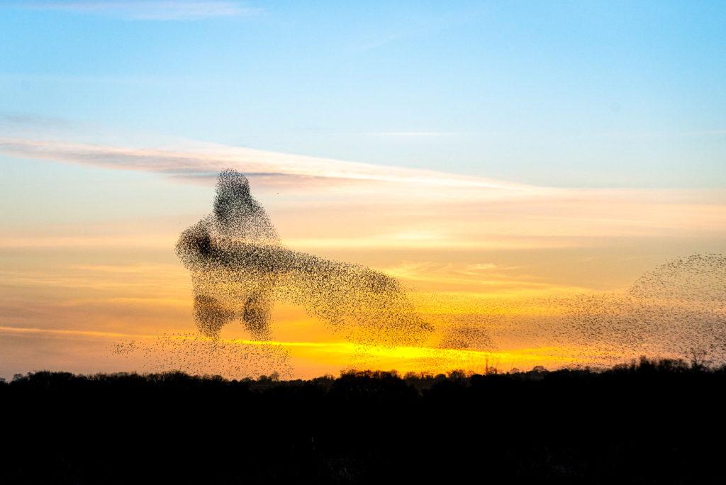 Starling Murmuration - Shapwick Heath, Somerset, UK. ID JB1_2334