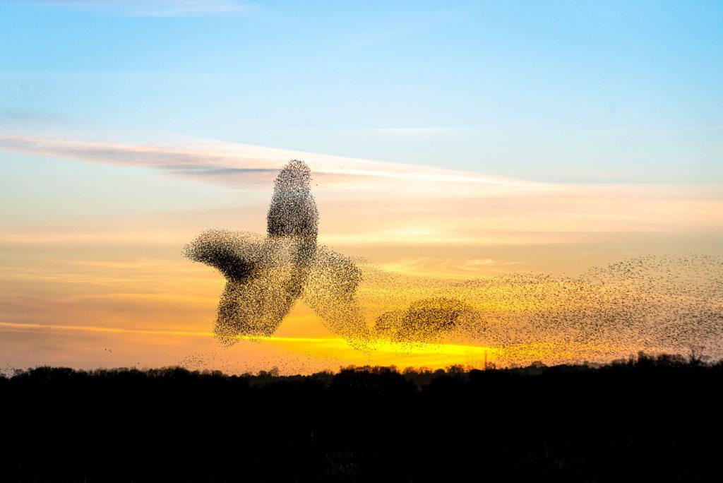Starling Murmuration - Shapwick Heath, Somerset, UK. ID JB1_2336E