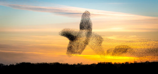 Starling Murmuration - Shapwick Heath, Somerset, UK. ID JB1_2336E