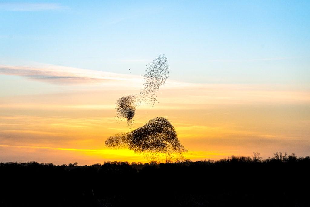 Starling Murmuration - Shapwick Heath, Somerset, UK. ID JB1_2346