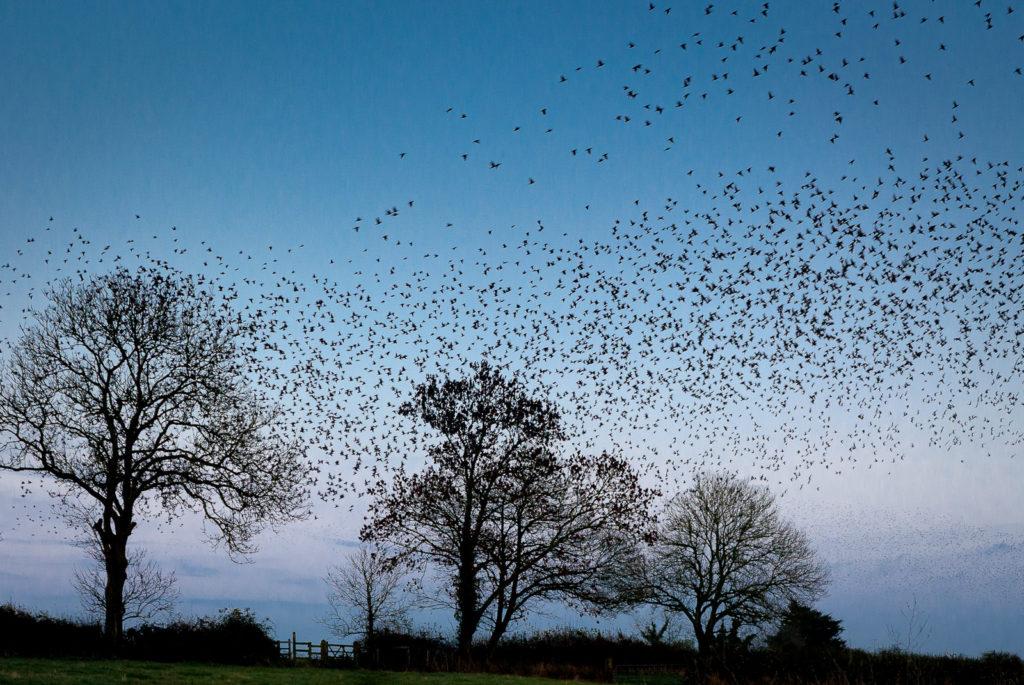 Starling Flocks at Old Stileway Farm - Ham Wall, Somerset, UK. ID JB5_5367