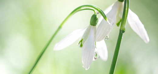 Snowdrops - Mells, Somerset, UK. ID 804_2436