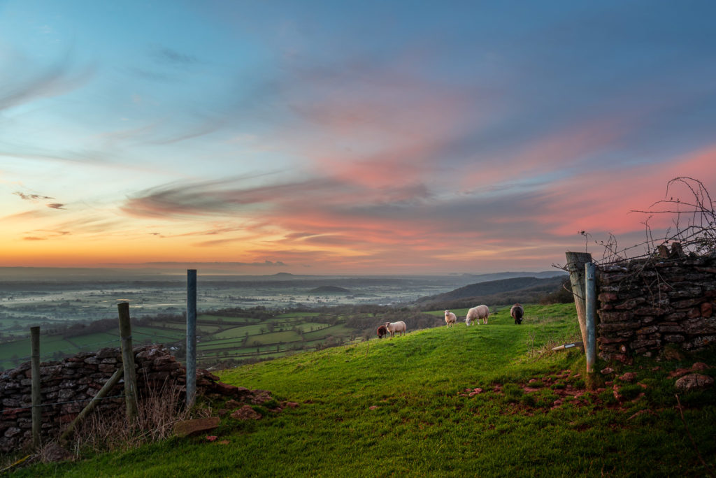 Sheep at Sunset - Cooks Fields, Mendip Hills, Somerset, UK. ID JB1_3246
