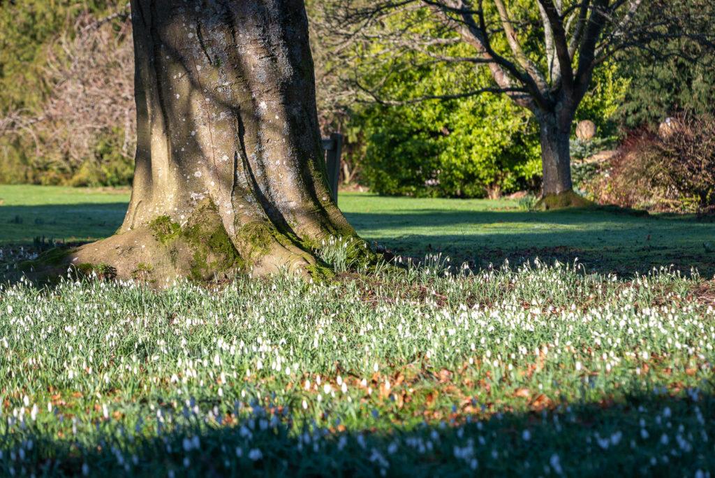 Snowdrops - Horsington, Somerset, UK. ID JB1_3728
