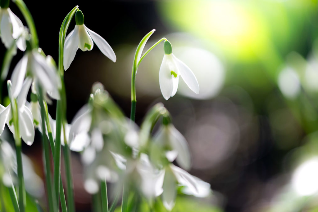 Snowdrops - Weare, Somerset, UK. ID JB1_5197