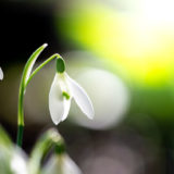 Snowdrops - Weare, Somerset, UK. ID JB1_5199