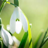 Snowdrops - Shepton Montague, Somerset, UK. ID JB1_7401