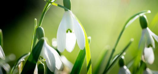 Snowdrops - Shepton Montague, Somerset, UK. ID JB1_7401