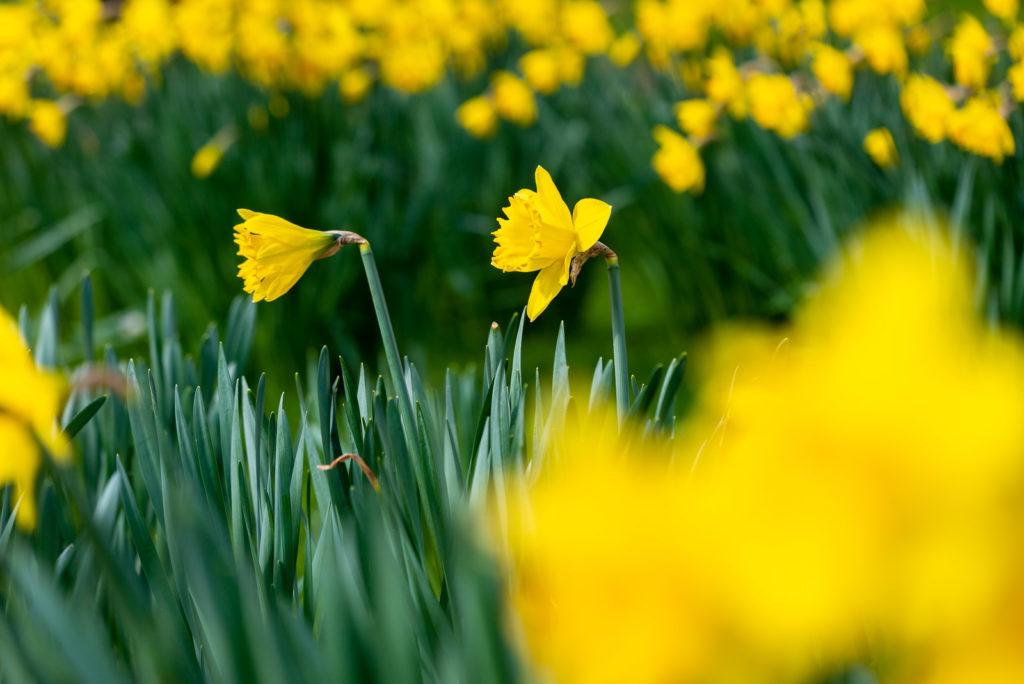 Daffodils - Pen Selwood, Somerset, UK. ID JB1_8475