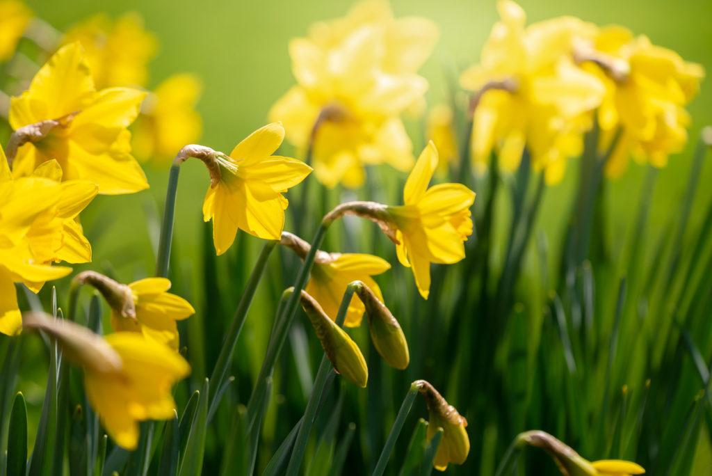 Daffodils - Pen Selwood, Somerset, UK. ID JB1_8497