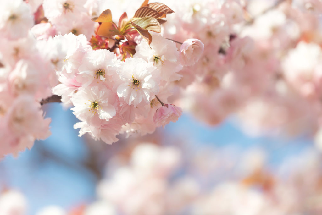 Cherry Blossom - Wells, Somerset, UK. ID JB1_9171