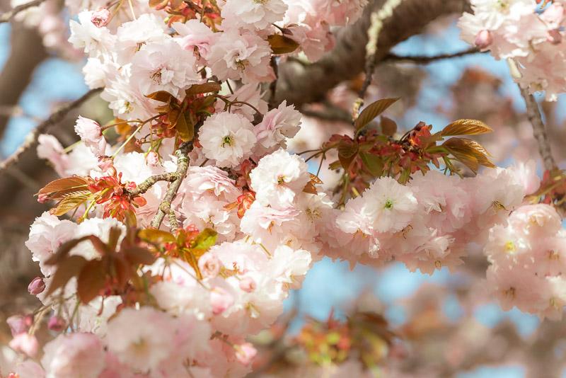 Cherry Blossom - Wells, Somerset, UK. ID JB1_9209
