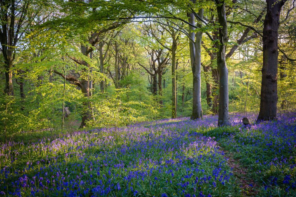 Bluebell Dawn 7 - Park Wood, Wells, Somerset, UK. ID 804_3650