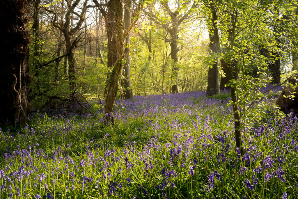 Bluebells of Park Wood - Nr Wells, Somerset, UK. ID 810_7424