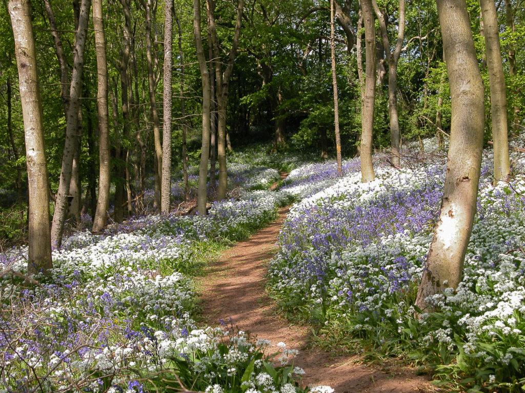 Wild Garlic and Bluebells - Longwood, Somerset, UK. ID DSCN5442