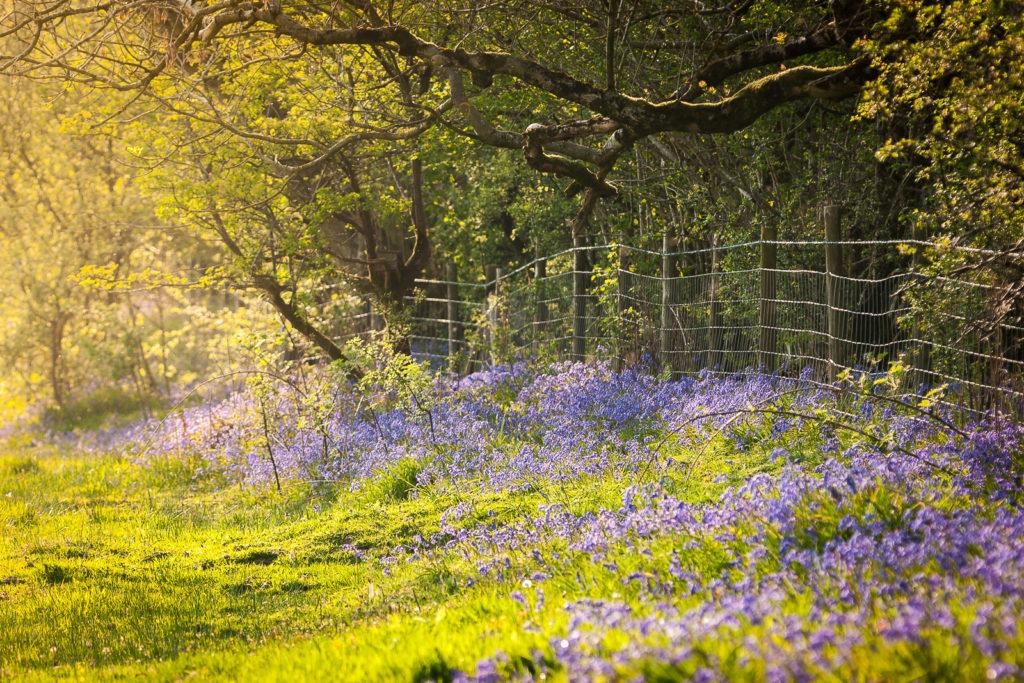 Bluebell Border - GB Gruffy, Somerset, UK. ID JB4_2896