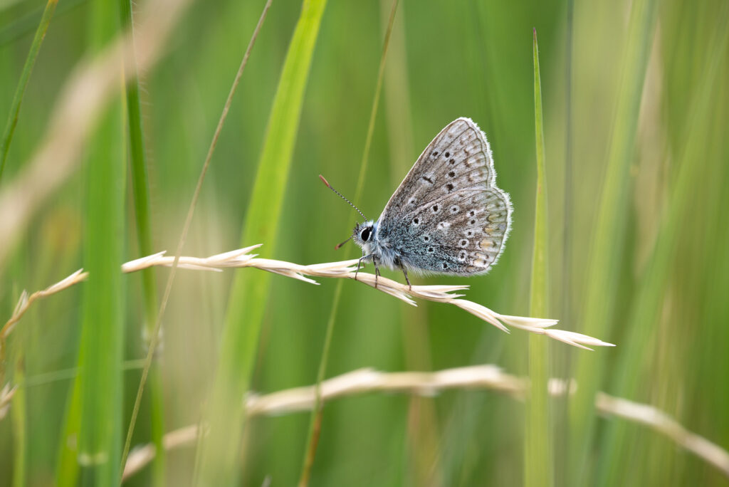 Common Blue (Polyommatus icarus) - Lynchcombe, Somerset, UK. ID 825_1256