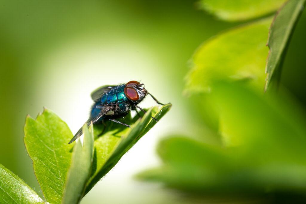 Common green bottle fly (Lucilia sericata) - Lynchcombe, Somerset, UK. ID JB1_0398