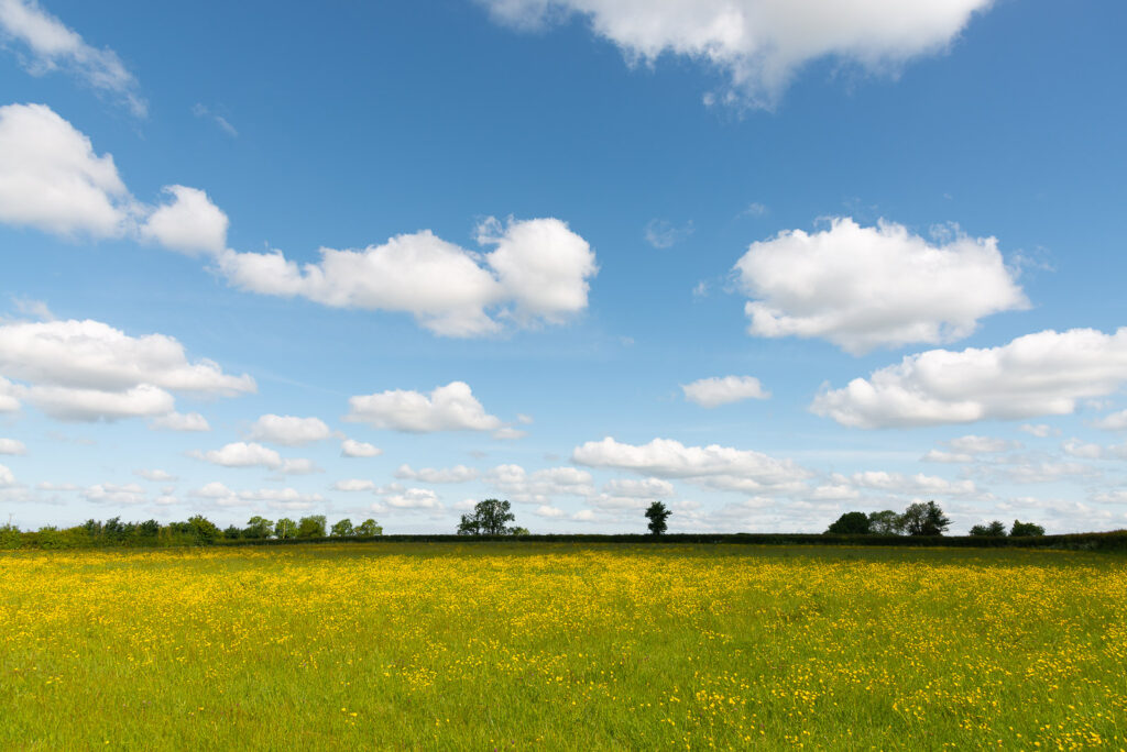 Buttercup Meadow - Walton Hill, Nr Street, Somerset, UK. ID JB1_1311