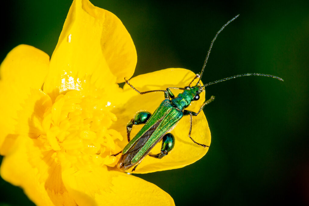 Swollen-thighed beetle (Oedemera nobilis) on Buttercup - Lynchcombe, Somerset, UK. ID JB1_2014