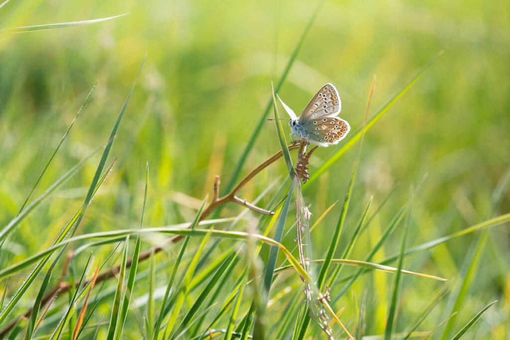 Common Blue (Polyommatus icarus) - Lynchcombe, Somerset, UK. ID JB1_2170
