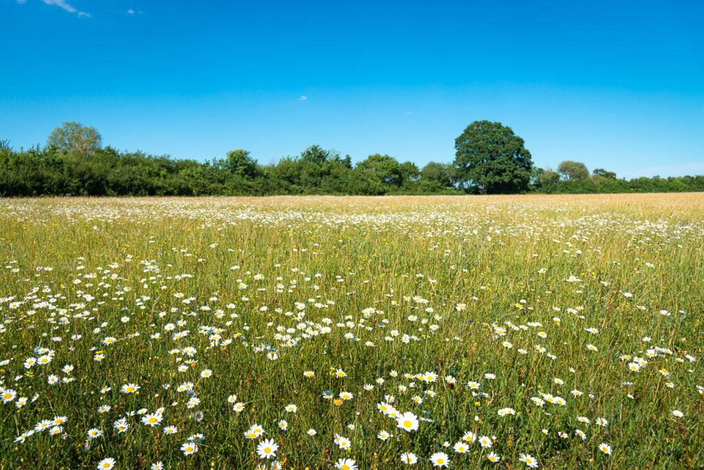 Oxeye Daisies at Babcary Meadows - Somerset, UK. ID JB1_3835