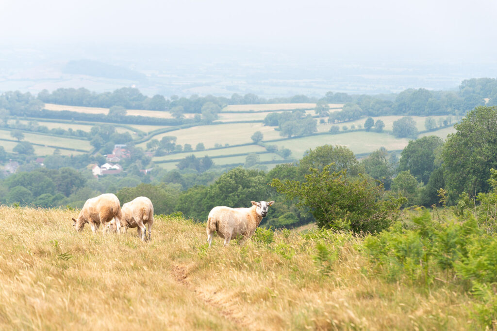 Sheep on Lynchcombe - Mendip Hills, Somerset, UK. ID JB1_3967