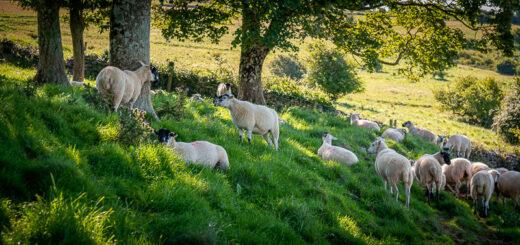 Sheep - Lynchcombe, Somerset, UK. ID JB1_5284