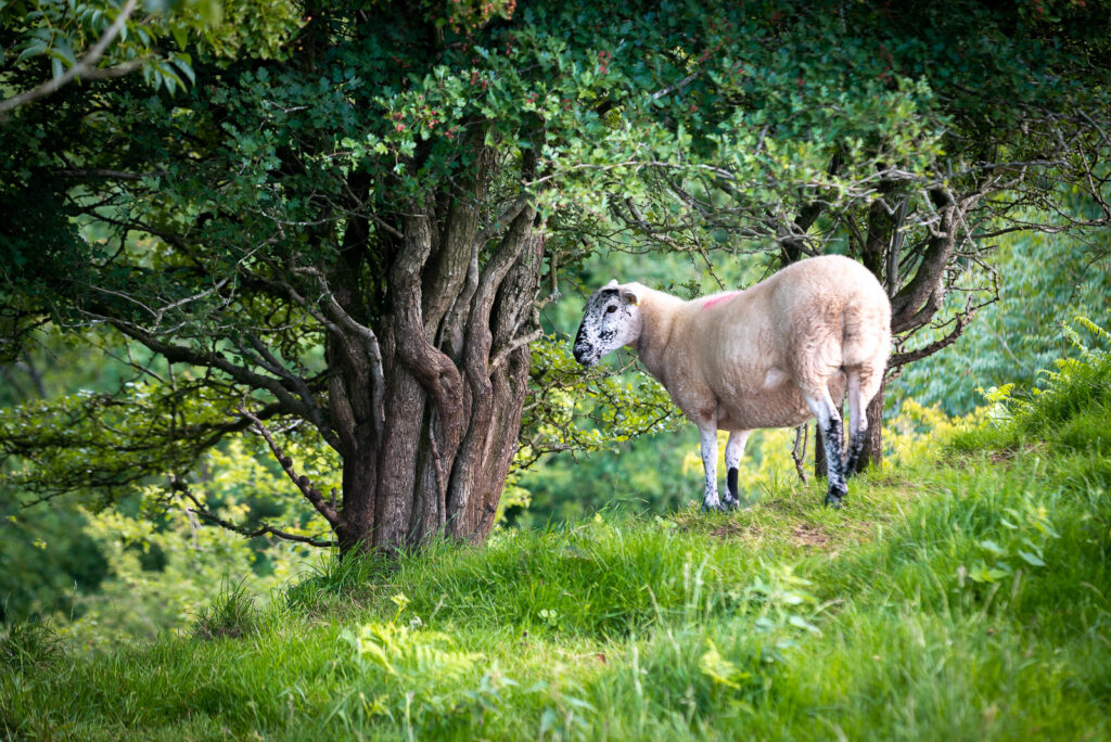 Sheep - Lynchcombe, Somerset, UK. ID JB1_5278H
