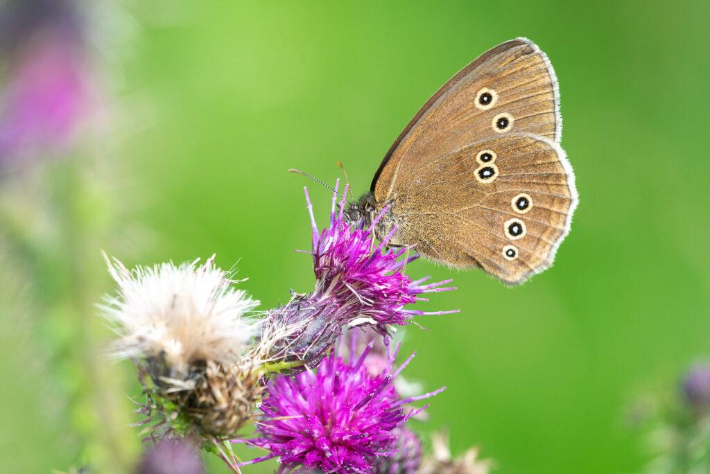 Ringlet (Aphantopus hyperantus) - Lynchcombe, Somerset, UK. ID JB1_5771