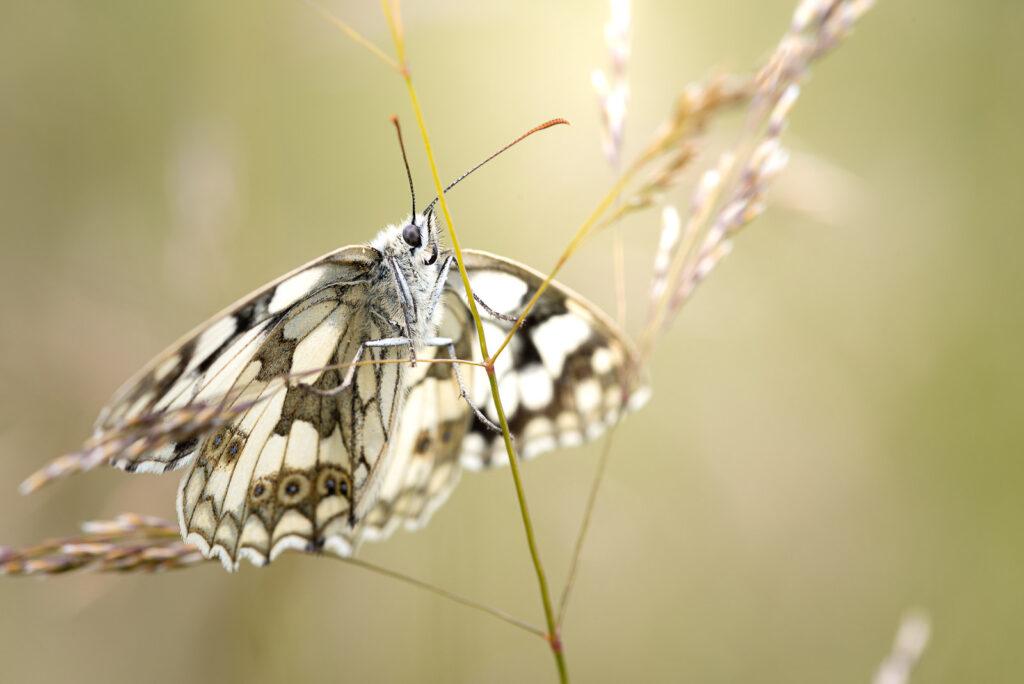 Marbled White (Melanargia galathea) - Lynchcombe, Somerset, UK. ID JB1_5908