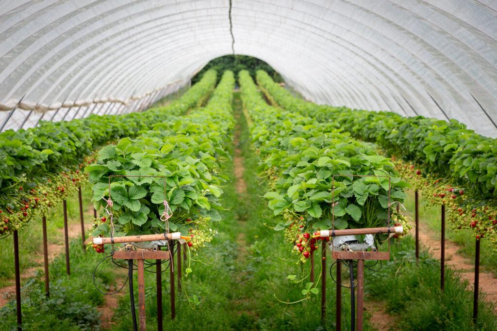 Strawberries - Nr Draycott, Somerset, UK. ID IMG_7086