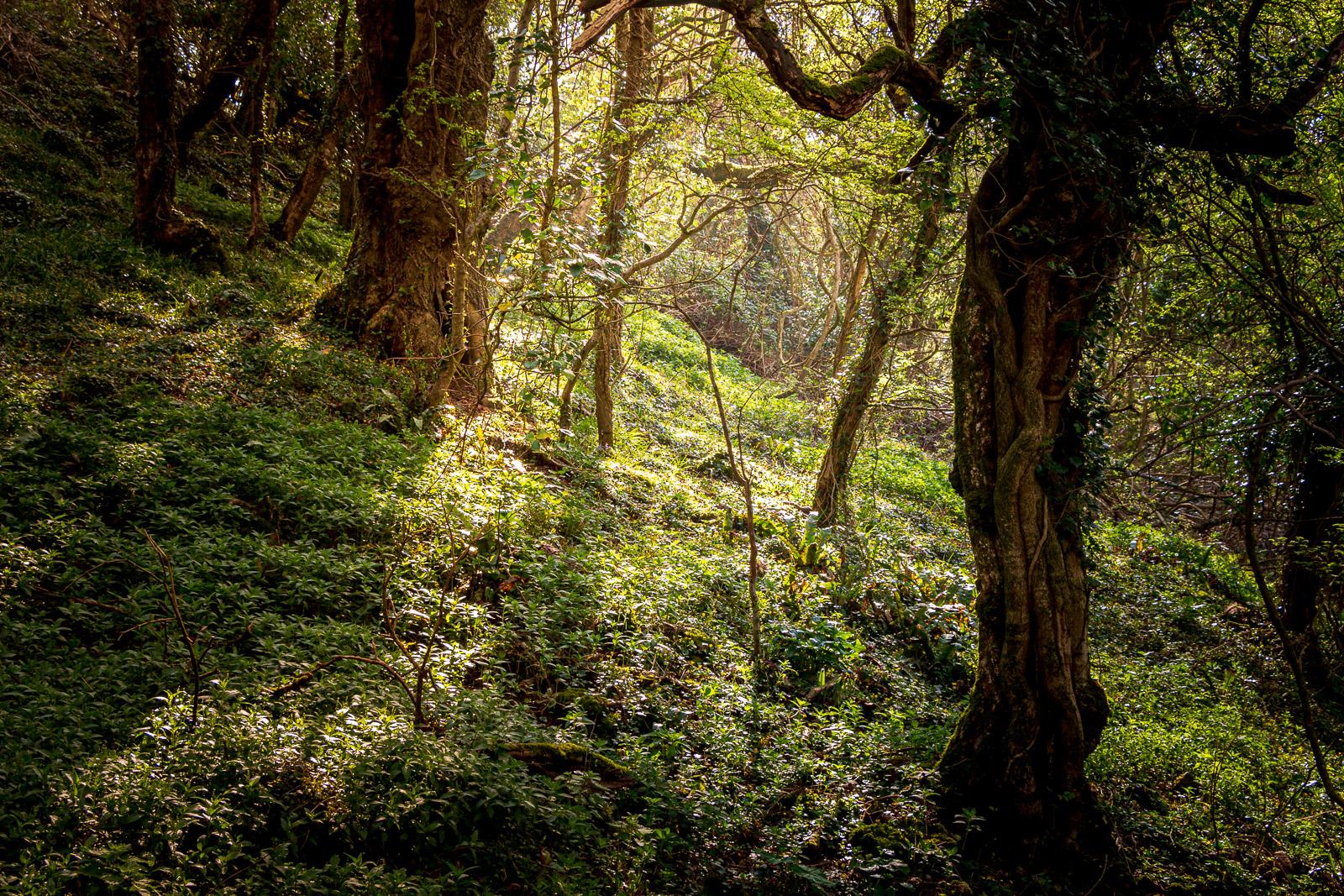 Woodland around Ramspit Swallet - Lynchcombe, Somerset, UK. ID IMG_5371