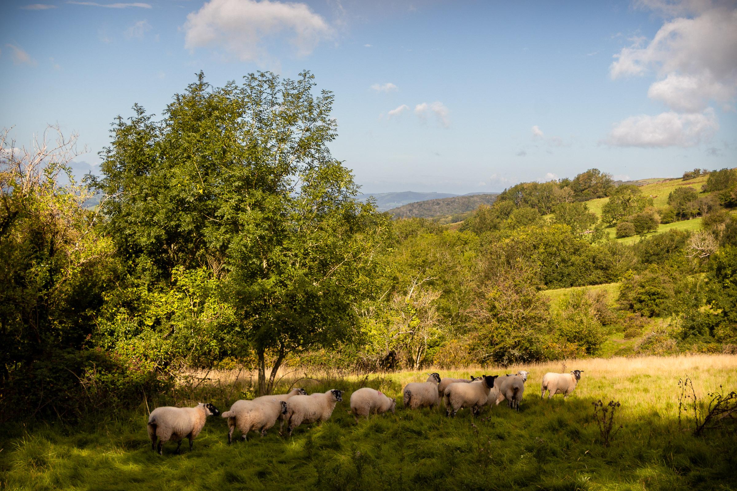 Sheep follow their leader - Deerleap, Somerset, UK. ID IMG_7372