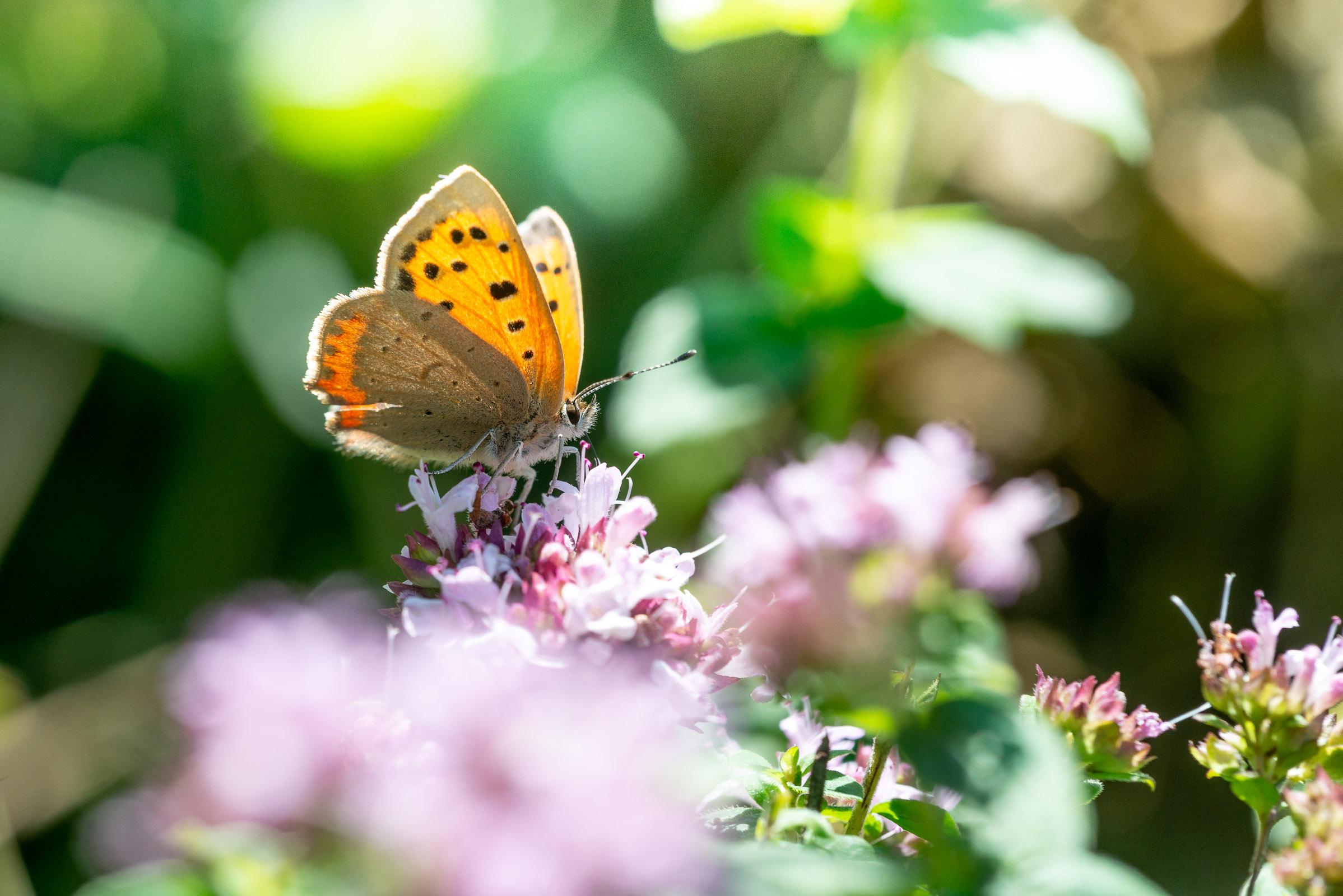 Small Copper (Lycaena phlaeas) - Lynchcombe, Somerset, UK. ID JB1_6471