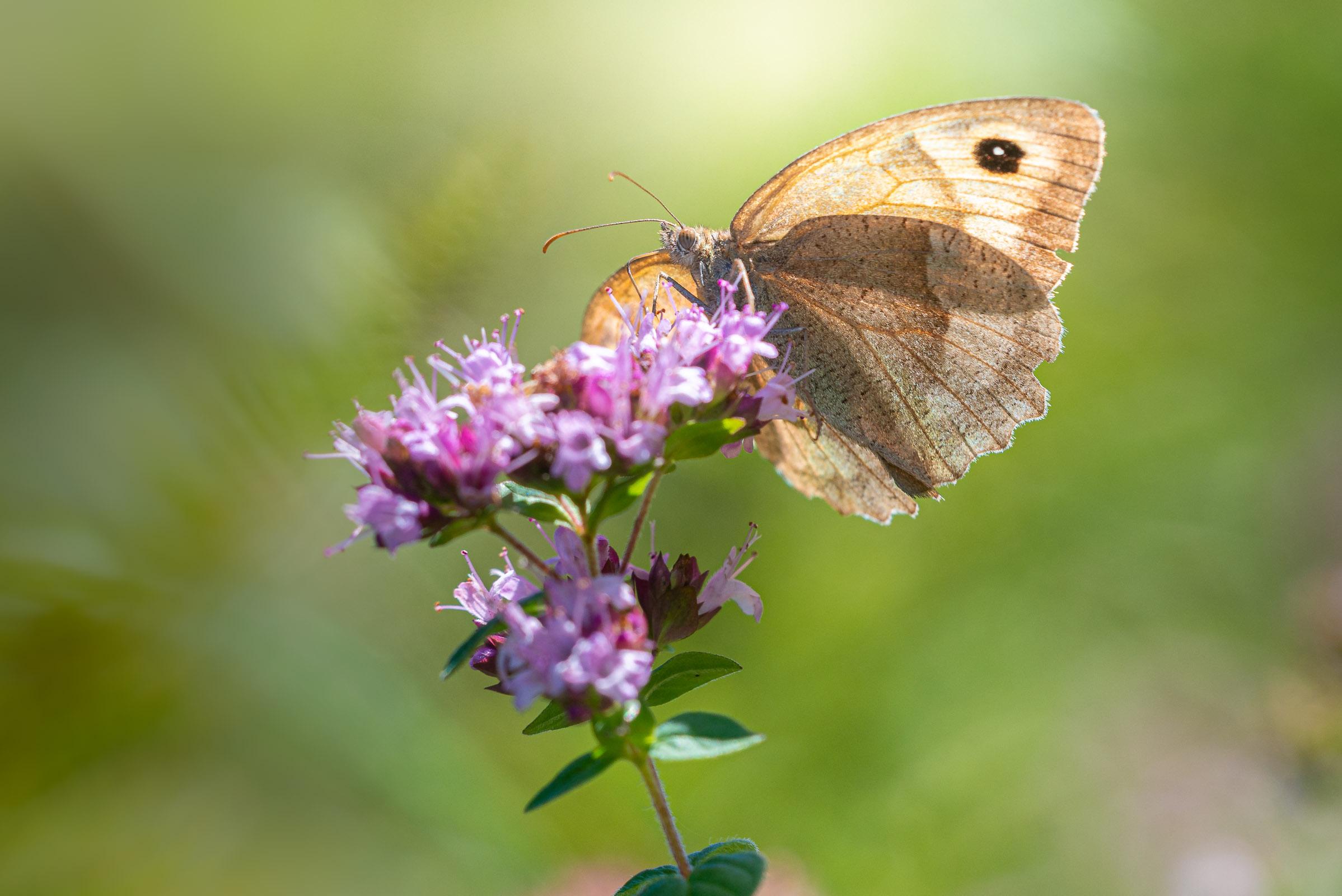 Meadow Brown (Maniola jurtina) - Lynchcombe, Somerset, UK. ID JB1_6581