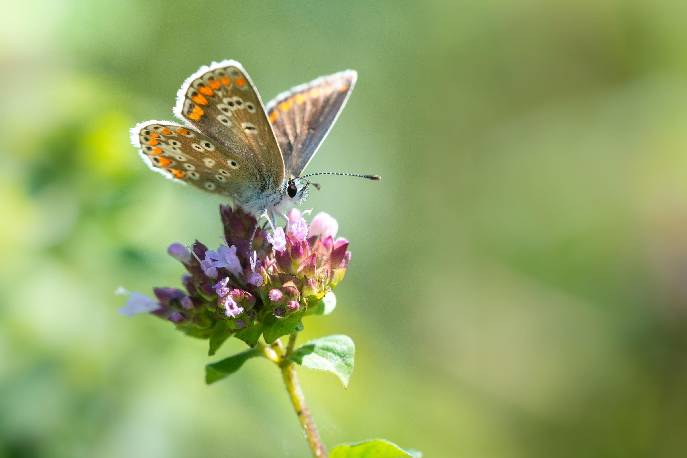 Brown Argus (Aricia agestis) - Lynchcombe, Somerset, UK. ID JB1_6679