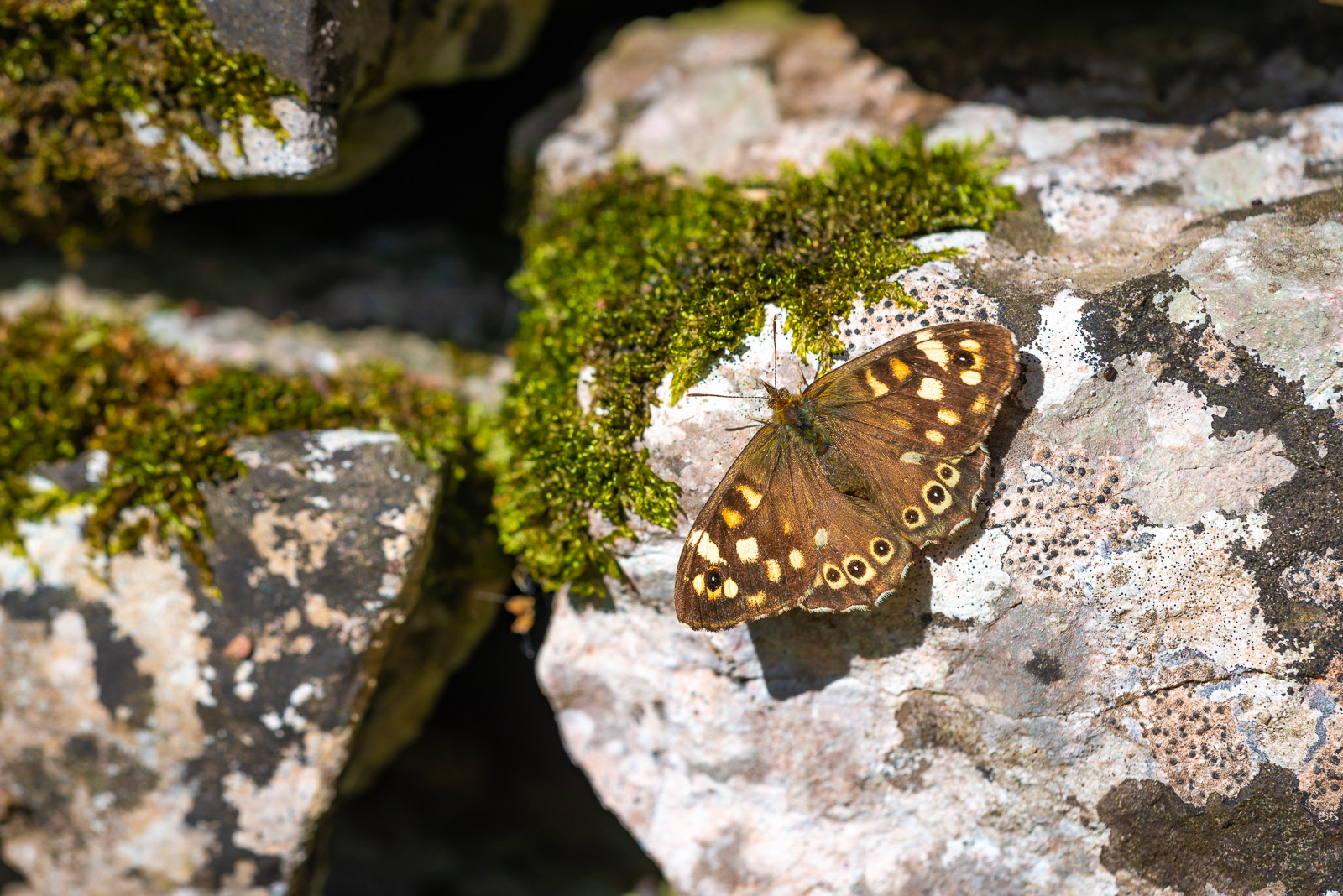 Speckled Wood (Pararge aegeria) - Lynchcombe, Somerset, UK. ID JB1_6780