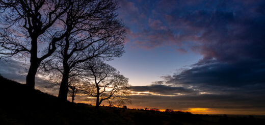 Sycamores at first light - Lynchcombe, Somerset, UK. ID JB1_7621