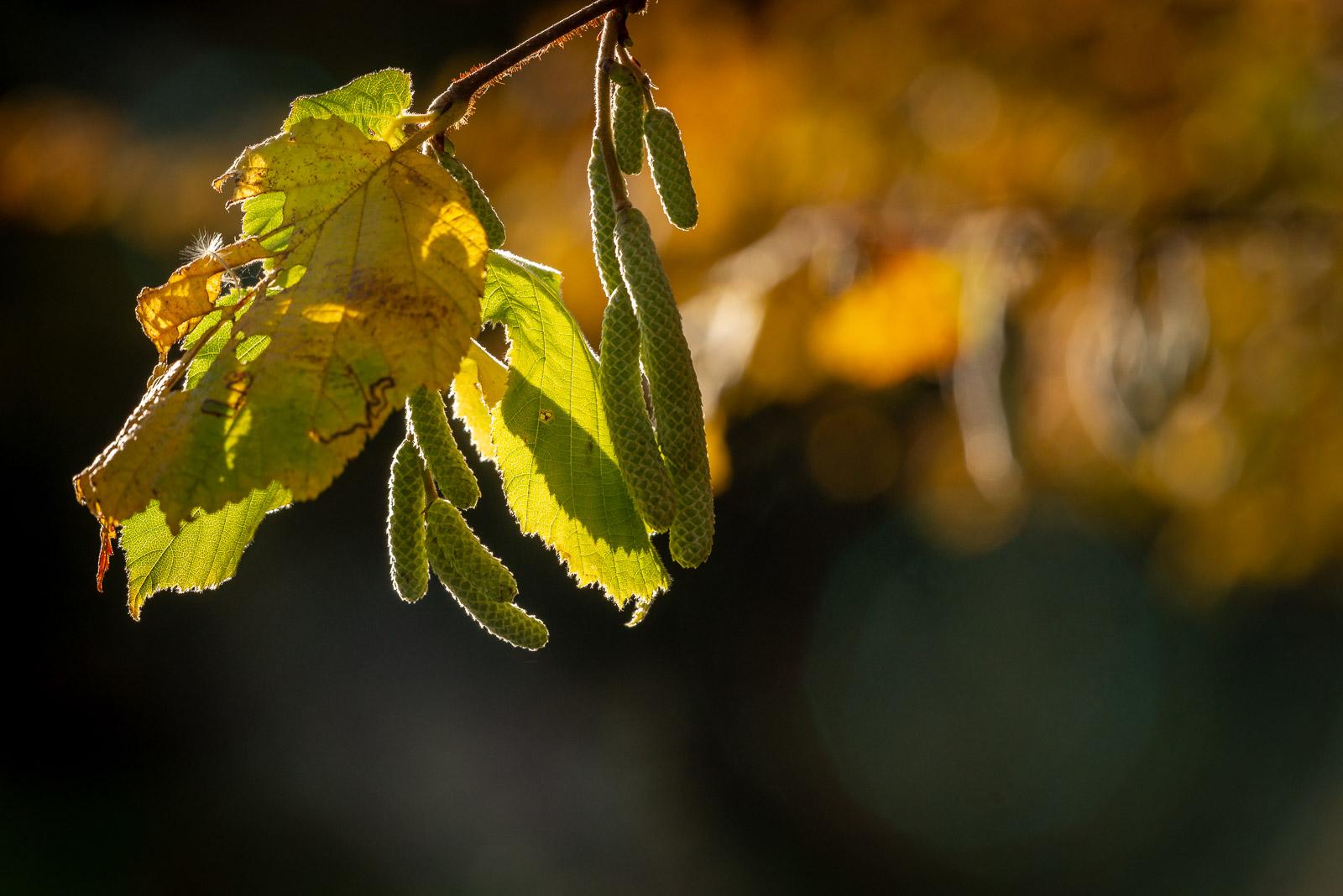 Autumn Leaves - Lynchcombe, Somerset, UK. ID 826_2891