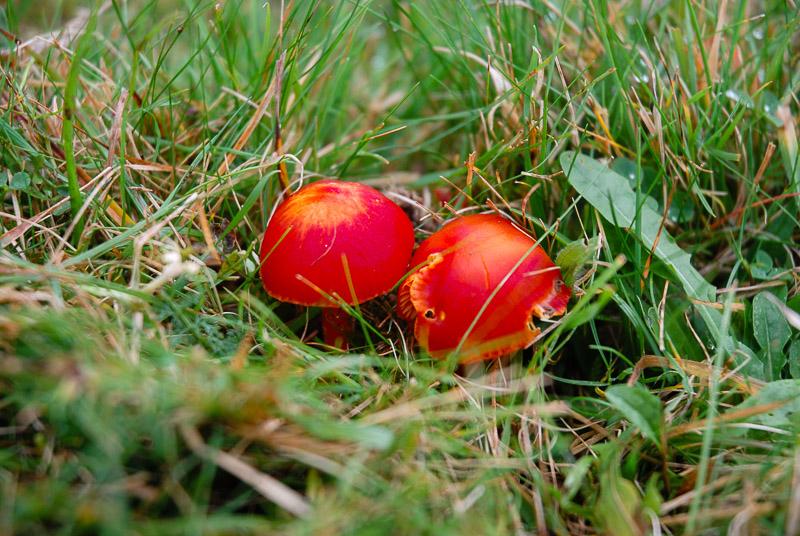 Scarlet Hood (Hydrocybe coccinea) - Lynchcombe, Somerset, UK. ID JBB_4815