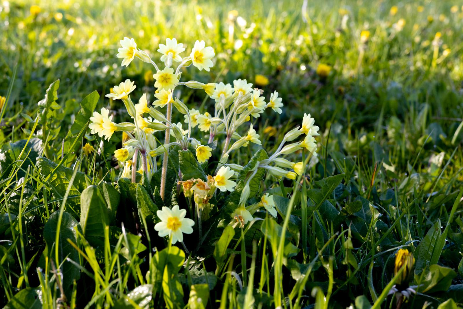 False oxlip (Primula vulgaris x veris) - Bagley, Nr Wedmore, Somerset, UK. ID B011891