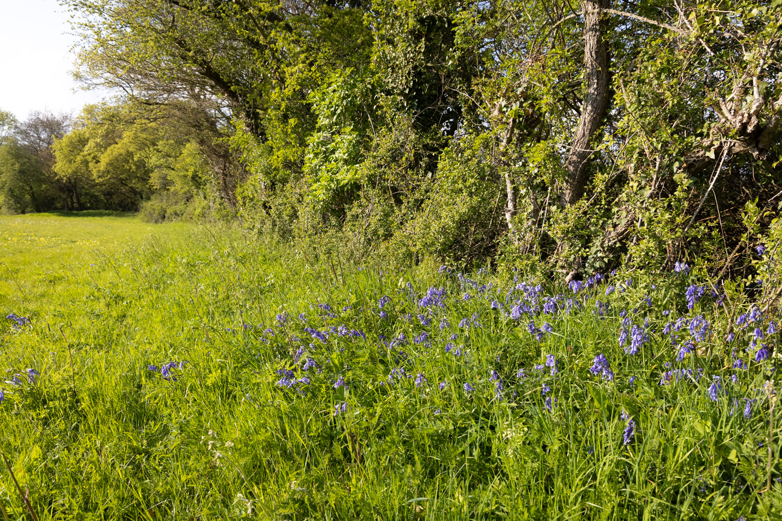 Hedgrow Bluebells - Bagley, Nr Wedmore, Somerset, UK. ID BR53699