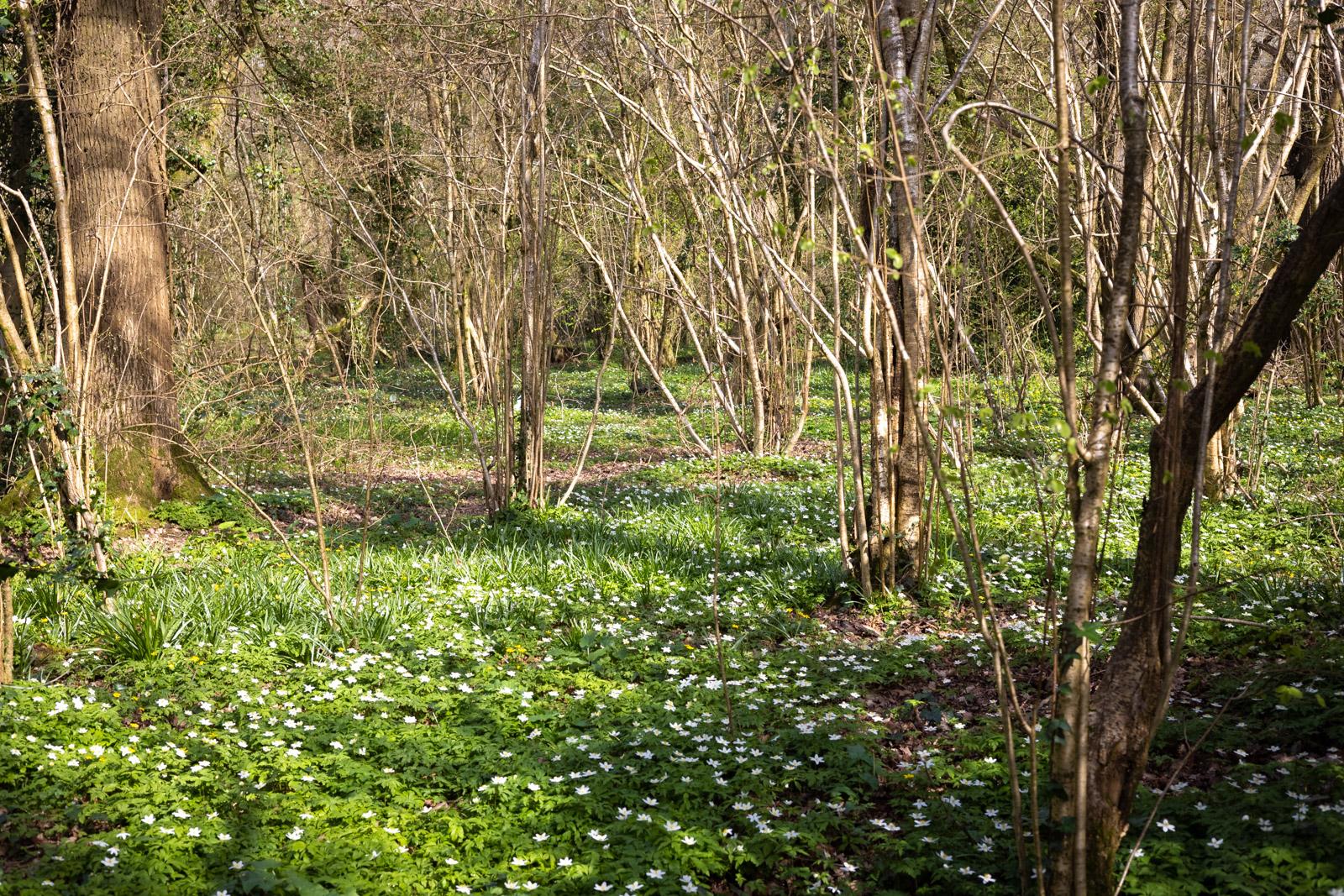 Wood Anemones - Park Wood, Wells, Somerset, UK. ID K2A0496
